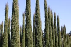 filare-cipressi