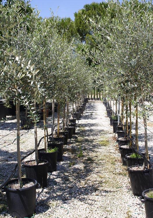 Piante a perugia vendita floro vivaismo for Vendita piante olivi