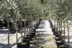 olivi-perugia-umbria