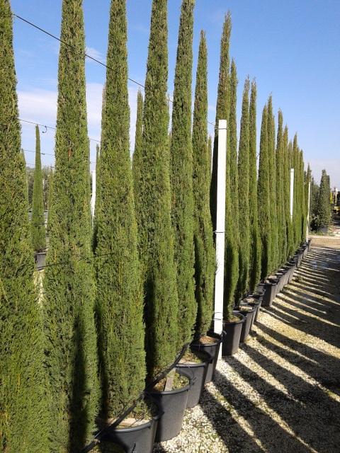 300/350 cm ctl 80 (spedizione delle piante)