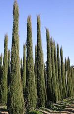 Säulenzypressen